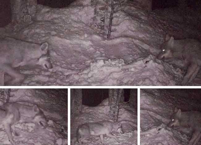 lupi immagini trappola notte