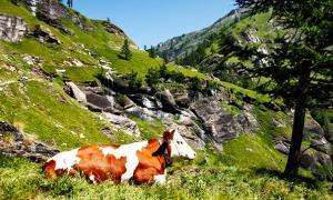 alpe veglia strada mucca